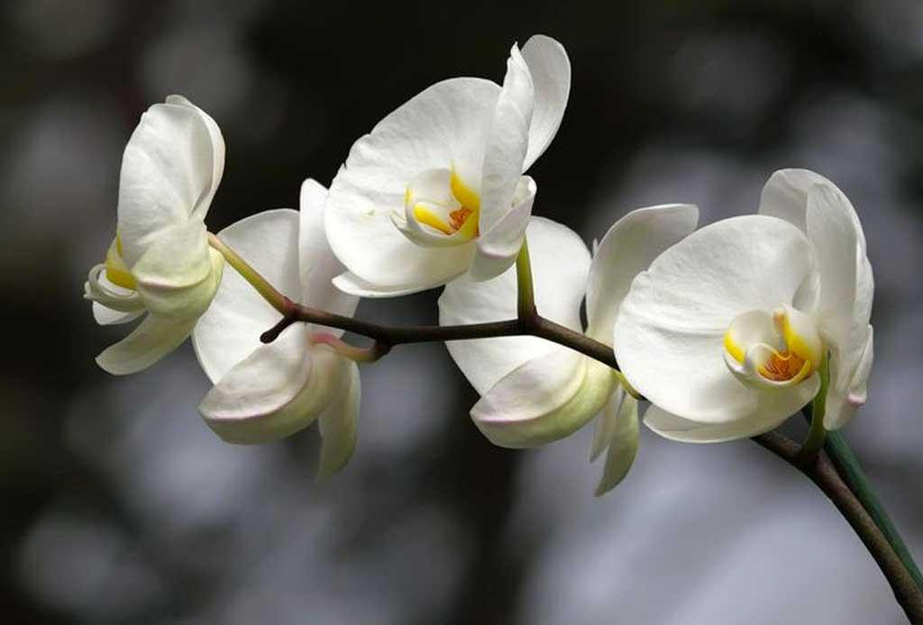 Los 6 pasos infalibles para cuidar una orquídea - orquideas-7
