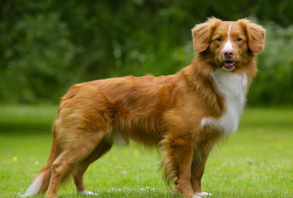 5 razas de perro que no sabías que eran de origen canadiense - raza-perro-2