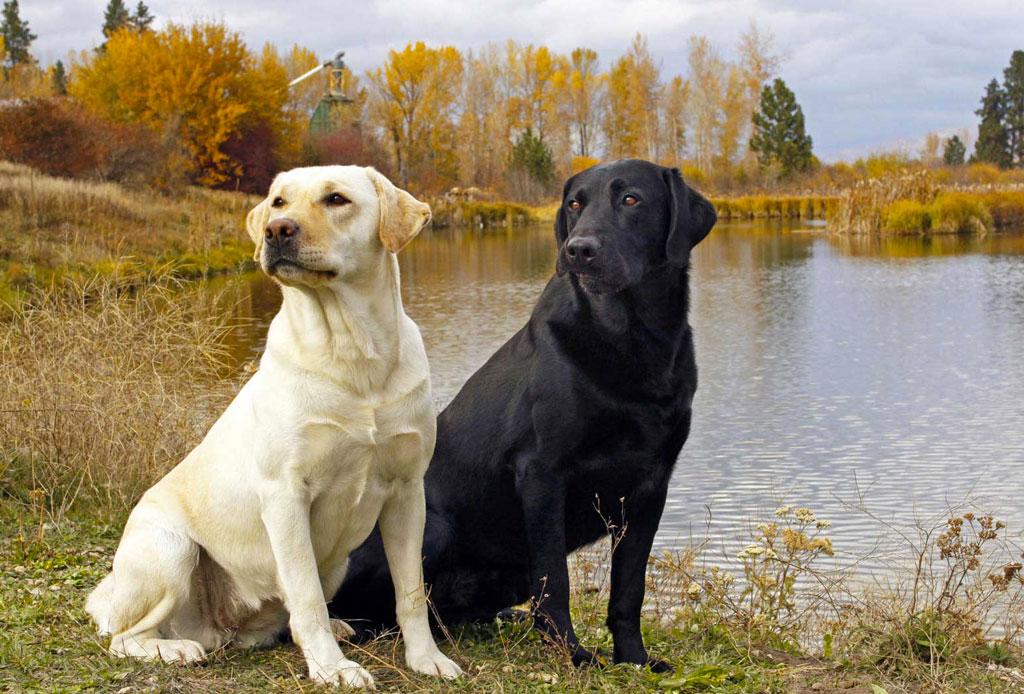 5 razas de perro que no sabías que eran de origen canadiense - raza-perro-5