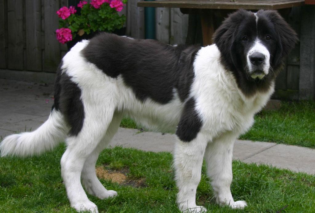 5 razas de perro que no sabías que eran de origen canadiense - raza-perro-6