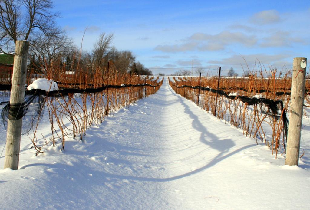 ¡Descubre la ruta del vino canadiense! - can-ont