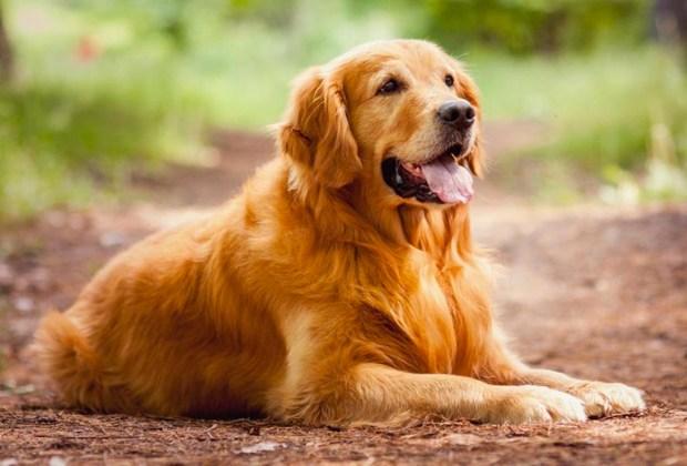 Razas de perros ideales para convivir en familia - perros-golden-retriever-1024x694