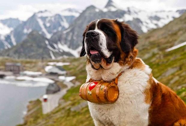 Razas de perros ideales para convivir en familia - perros-san-bernardo-1024x694