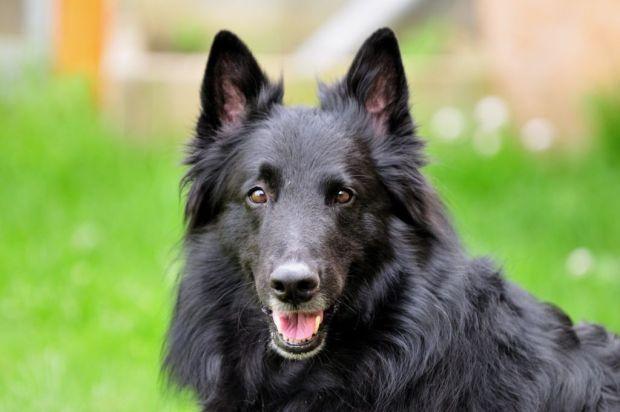 Las 10 razas de perro más activas para los niños - belga-1024x681