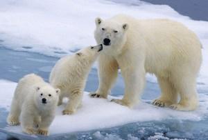 El mejor lugar para ver osos polares: Churchill, Canadá