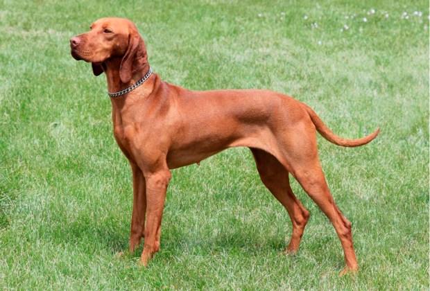 Las 10 razas de perro más activas para los niños - vizsla-1024x694
