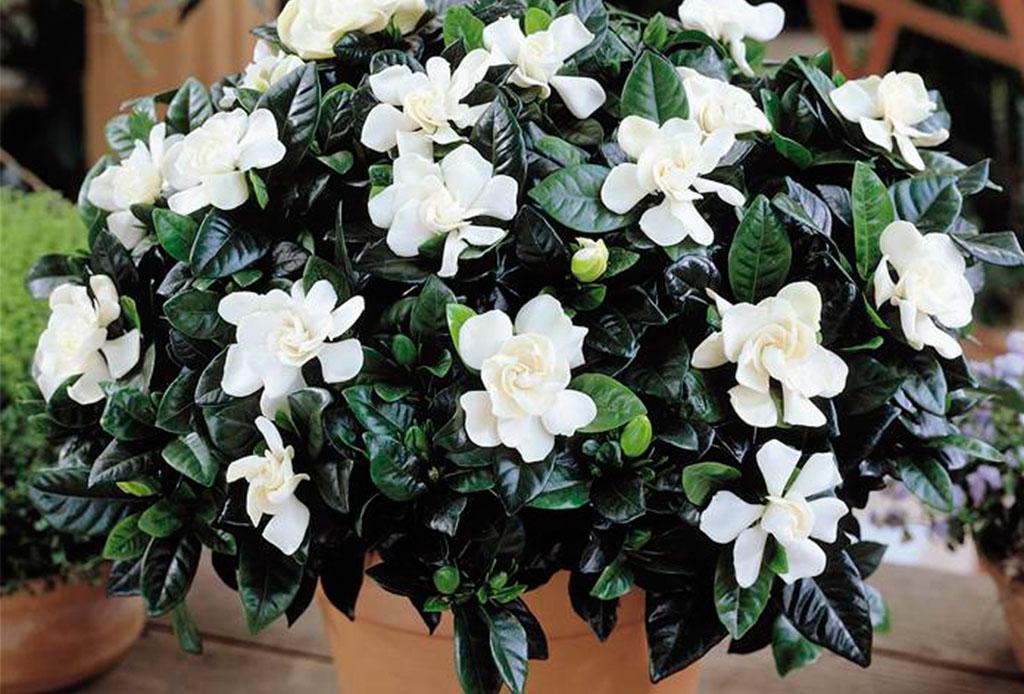 ¿Insomnio? pon estas flores en tu habitación para dormir mejor - jazmin-1024x694