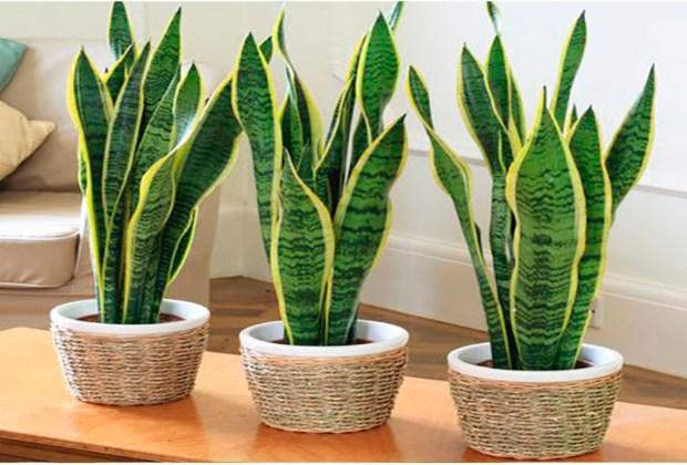 Tener estas plantas en tu cuarto te ayudará a dormir mejor - snake-1024x694