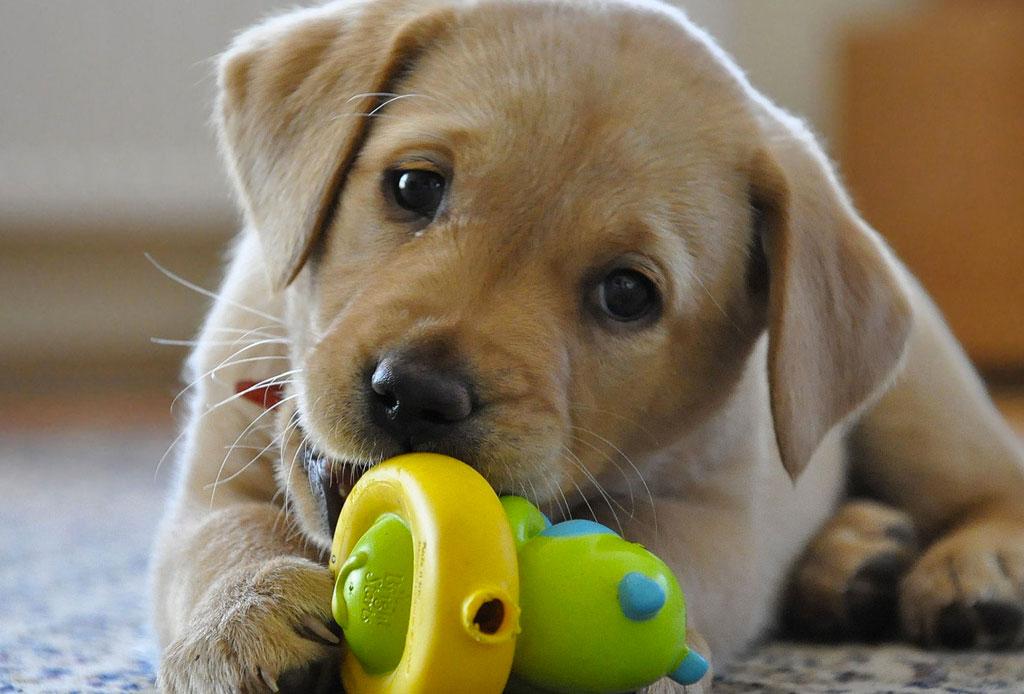 Así es como debes comenzar a entrenar a tu cachorro - cachorro-perro-3-1024x694