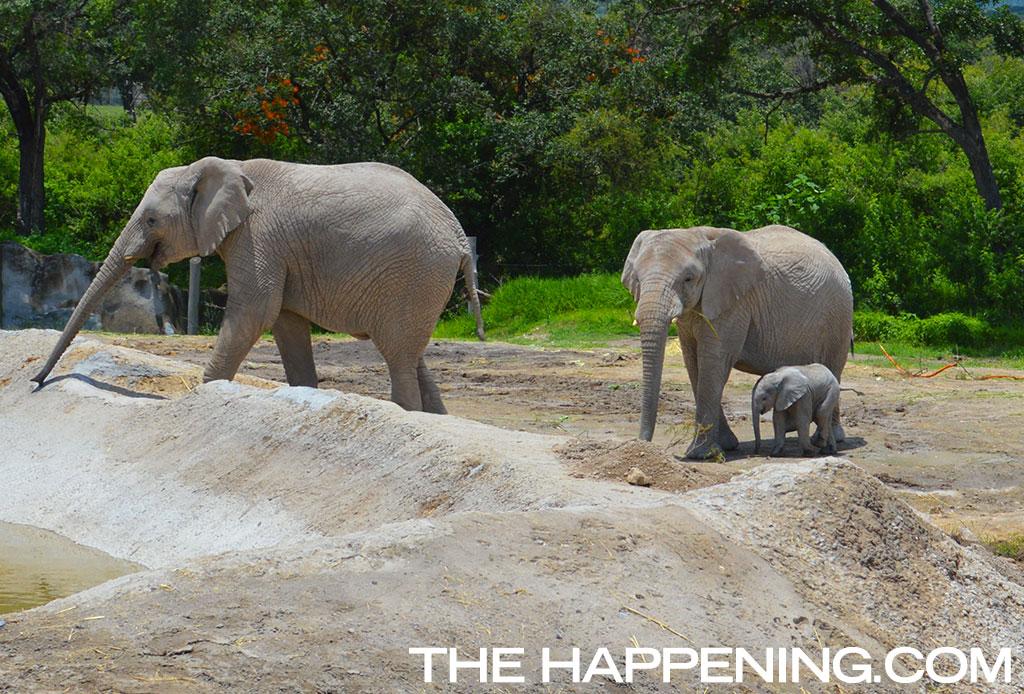 ¡Roadtrip en familia! Conoce al nuevo integrante del Africam Safari - elefante