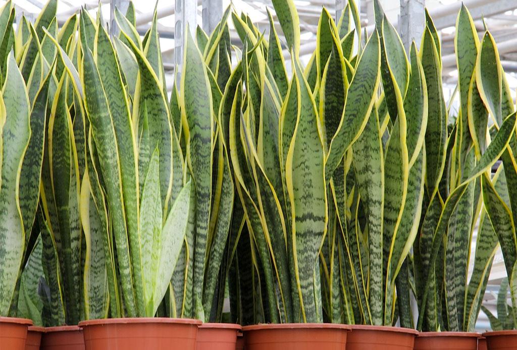 La planta ideal para cada tipo de habitación - plantas_cuarto_3