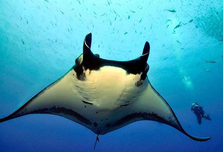 Este es el único lugar en México donde puedes nadar con mantarrayas - manta-gigante-2