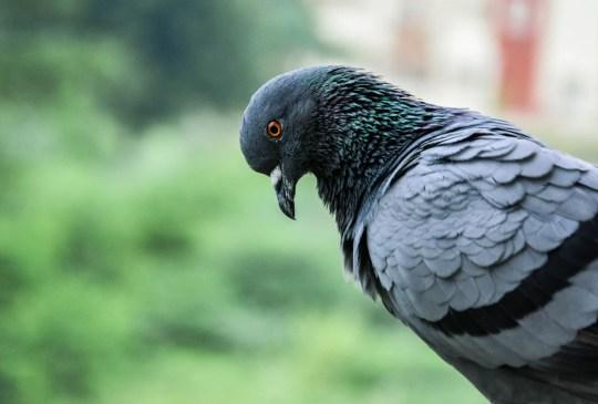 Las mascotas más extrañas en todo el mundo - pigeon-300x203