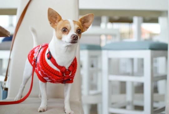 Las mejores razas de perros para vivir en departamento - razas-perros-vivir-departamento-3-300x203
