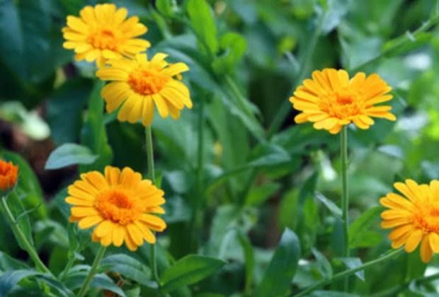 Remedios naturales que puedes tener en tu jardín - calendula