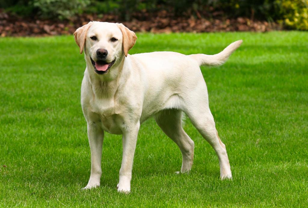 Las razas de perro ideales para viajeros, elige la mejor para ti - perros-viajeros-1-1024x694