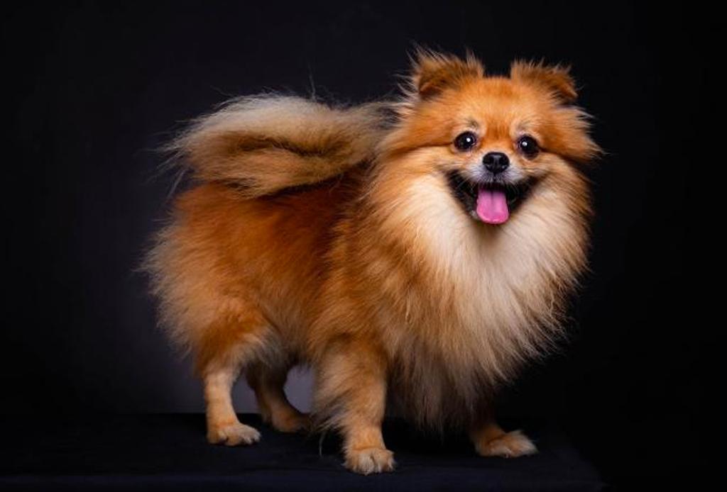 Las razas de perro ideales para viajeros, elige la mejor para ti - perros-viajeros-4-1024x694