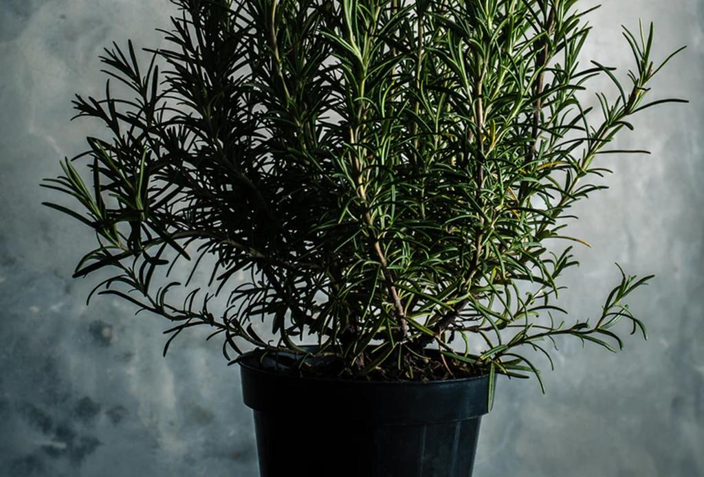 Remedios naturales que puedes tener en tu jardín - romero-1024x694