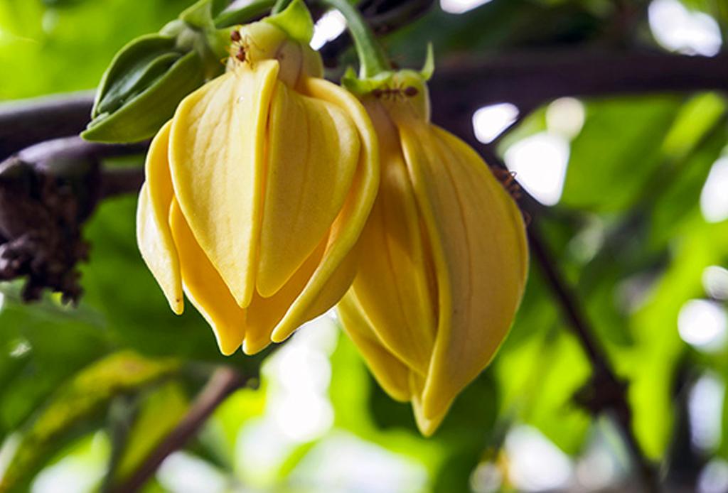 Así es como puedes usar el aceite esencial de Ylang Ylang para revivir tu piel