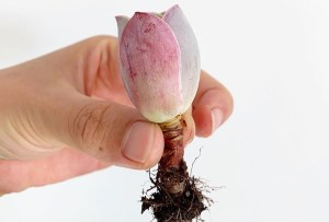 ¿Amante de las suculentas? Conoce esta hermosa especie con forma de rosa