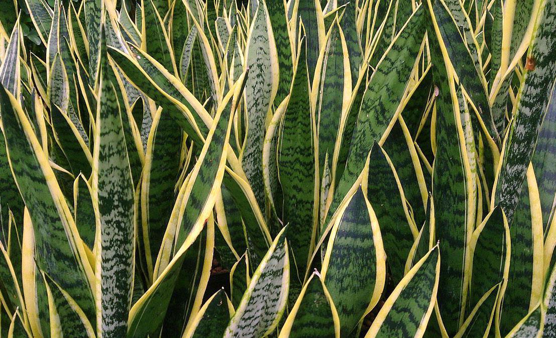 5 plantas que puedes tener si eres principiante y quieres aprender - lenguas-de-tigre-plantas-principiantes