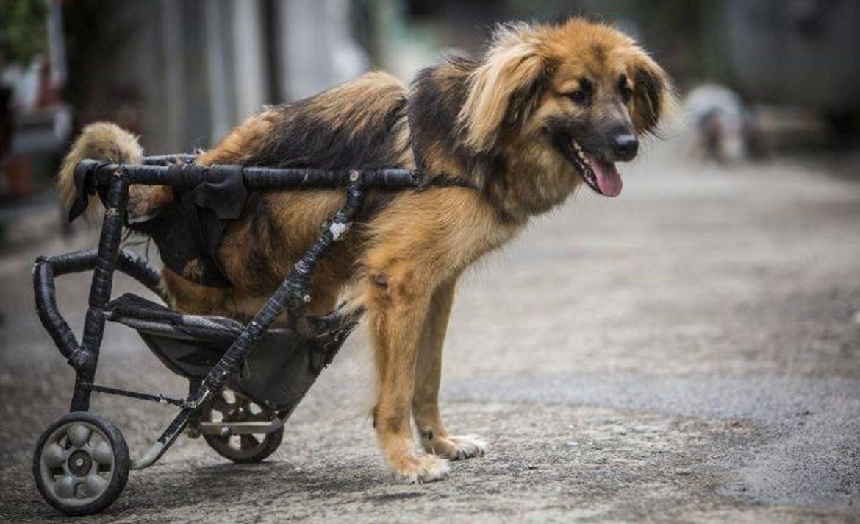 5 organizaciones que ayudan a los animales de todo el mundo - silla-ruedas