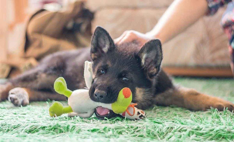 ¿Cómo prevenir que tu perro se estrese en cuarentena? - perro-ejercicio-casa