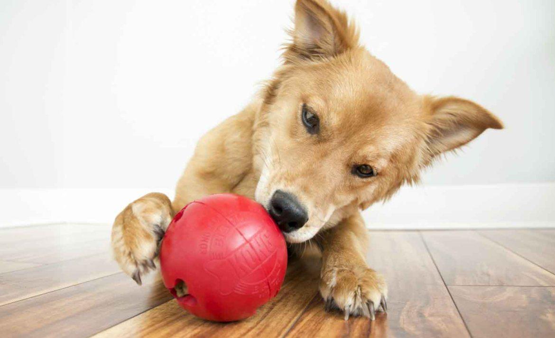 Así puedes mantener ejercitado a tu perro durante la cuarentena - perro-premios-coronavirus