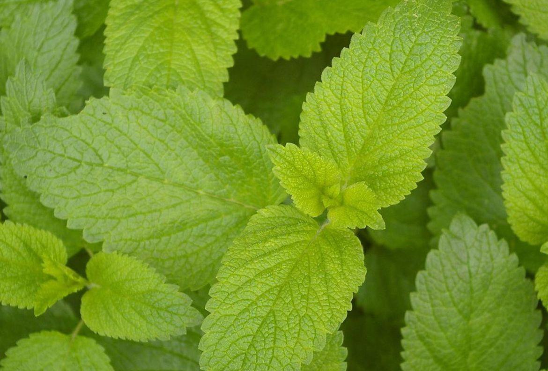 ¿Has escuchado sobre los onirógenos? Conoce más sobre estas plantas que crean sueños lúcidos - somniferos-naturales-toronjil