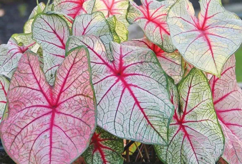 7 plantas para las amantes del color rosa en interiores - caladium-bicolor-plantas-hojas-color-rosa