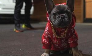 Sneakers Yeezy y más streetwear para perritos