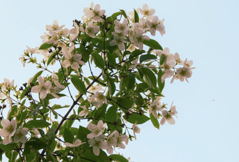 4 flores que pueden ayudarte a reducir tu ansiedad - jasmines