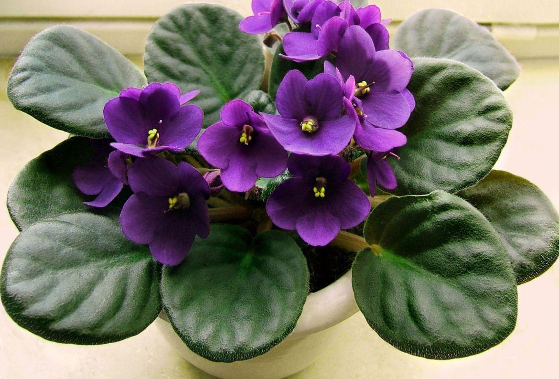 Si tienes gatos en casa, estas plantas son perfectas para tu jardín interior - plantas-seguras-para-gato-violeta-africana