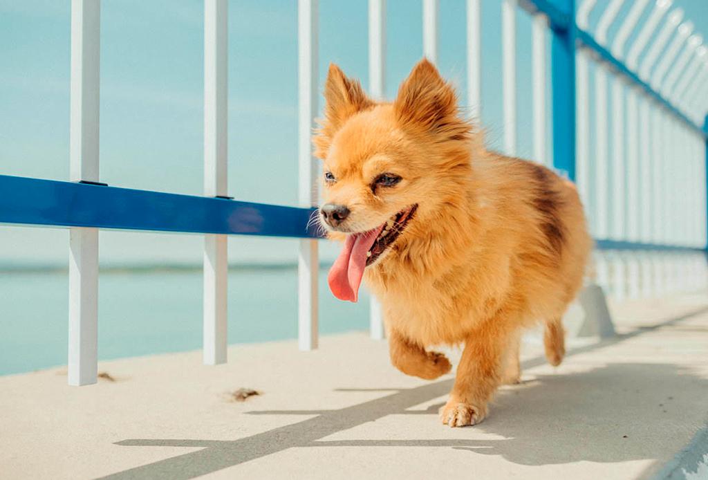 Cómo reconocer y prevenir un golpe de calor en tu perrito - perro-calor-3