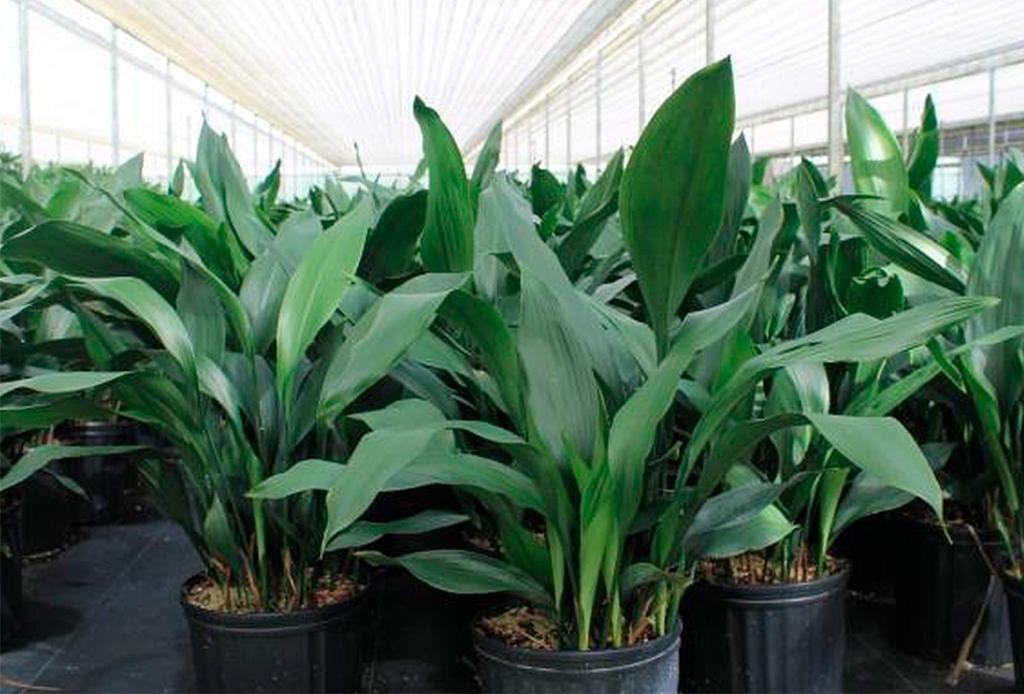 6 plantas ideales para espacios con poca luz natural - plantas-poca-luz-3