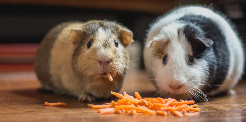 Toma nota de los cuidados básicos para tus roedores en casa - cuidados-para-roedores-1
