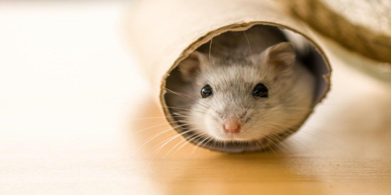 Toma nota de los cuidados básicos para tus roedores en casa - cuidados-para-roedores3