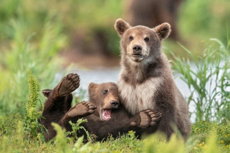 ¿Quieres reír? Estos son los finalistas del Comedy Wildlife Photo 2020 - foto-wildlife-osos