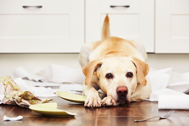 Tips si haces home office y no quieres descuidar a tu perro - perro-casa