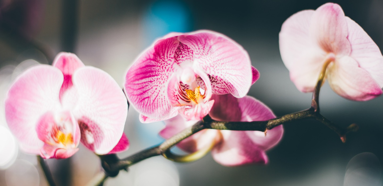 ¿Qué hacer con las orquídeas cuando pierden sus flores?