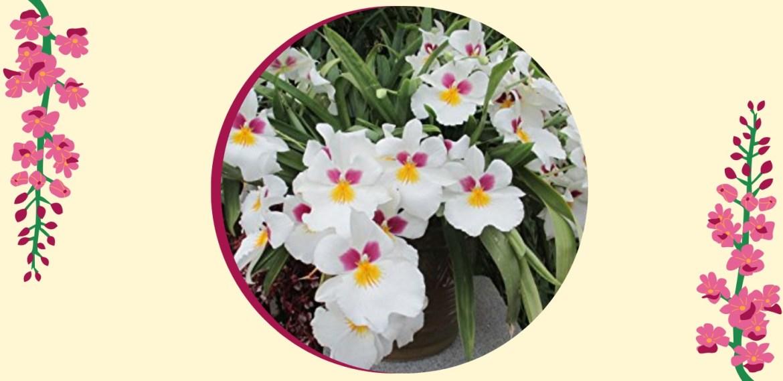 Tipos de orquídeas más populares que tienes que conocer - sabrina-30-1