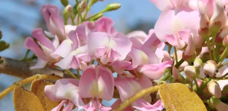 Conoce la flor de cacahuananche: la mejor revelación cosmética, saludable y culinaria - flor-cacahuananche-2