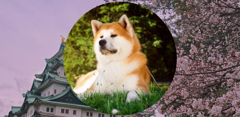 Razas de perros japoneses que te van a encantar - sabrina-100