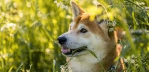 Razas de perros japoneses que te van a encantar