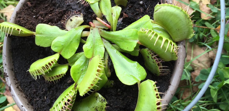 5 consejos básicos para cuidar tus plantas carnívoras