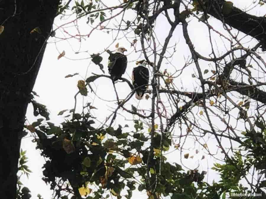 bald-eagles-along-river