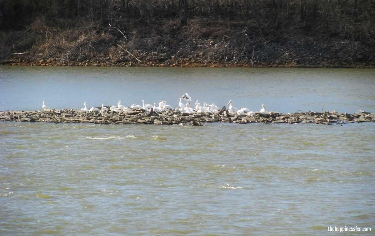 oklahoma-american-white-pelican