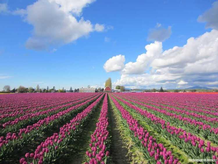 tulip-festival-washington