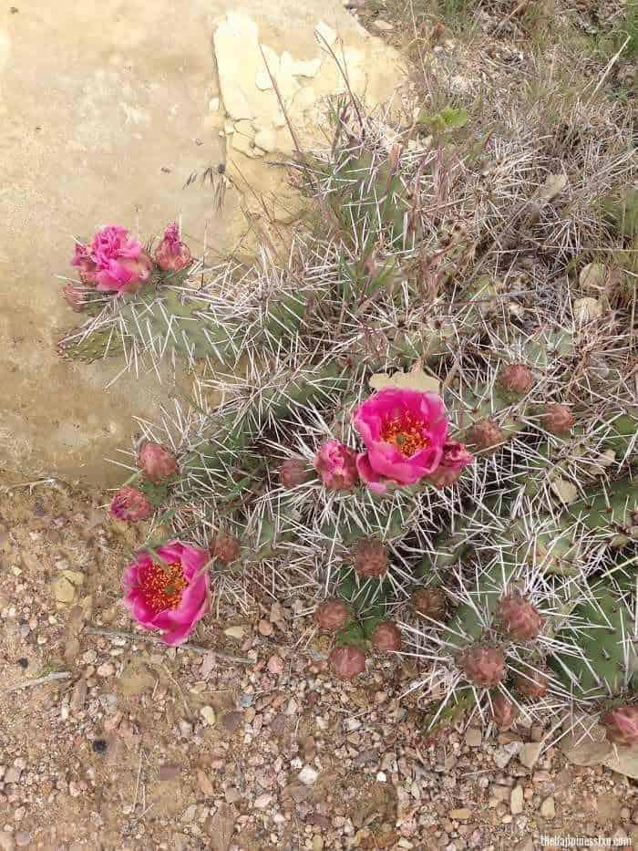 desert-flowers