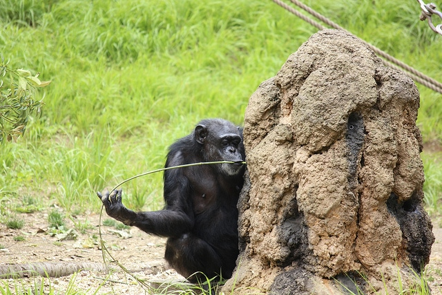 Chimpanzee eating thermites
